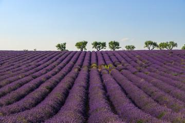 Poster Crimson Valensole Lavendelfeld