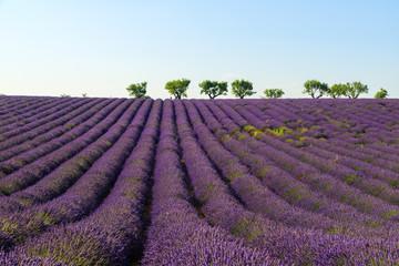 Poster Crimson Lavendel Blütezeit
