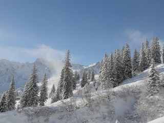 fir forest in t he alps at wintertime
