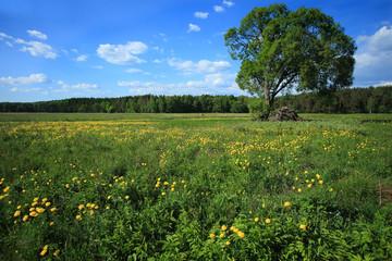 Wiosenna łąka z pełnikiem europejskim (Trollius europaeus)