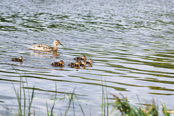 Birds on the pond. A flock of ducks and pigeons by the water. Migratory birds by the lake.