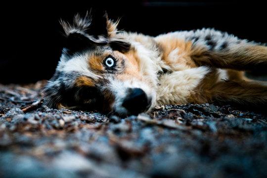 Australian Shepard Dog resting in a campsite in Oregon.