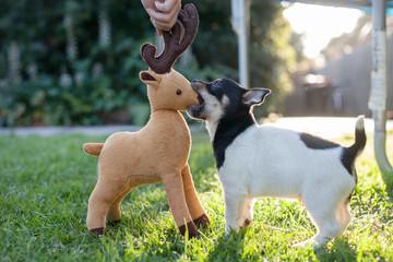 Puppy versus Reindeer