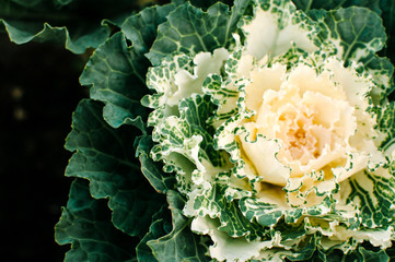 Close up of fresh cabbage