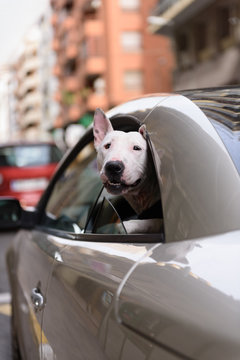 Dog looking out of car