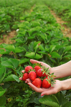 Woman hands holding freshly picked strawberries in both hands, self picking strawberry farm in background, space for text in upper part