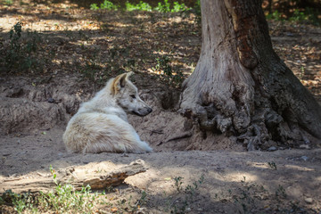 White wolf (Canis lupus arctos) resting by the tree.
