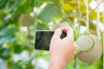 Hand hold mobile smartphone take photo to Fresh melon or Cantaloup melon growing in greenhouse farm