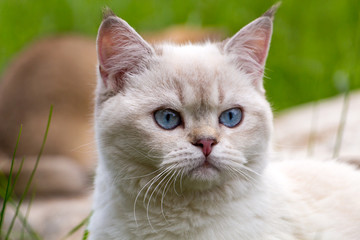 Portrait of white British cat with blue eyes, head of color point cat with blue eyes pink nose and tassels on the ears