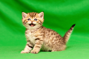 Funny little spotted Golden British kitten looks at the camera and says meow standing on a green background
