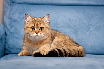 Charming British Golden kitten looking at the camera with big green eyes lying on a blue sofa, cute British kitten lying on a blue sofa