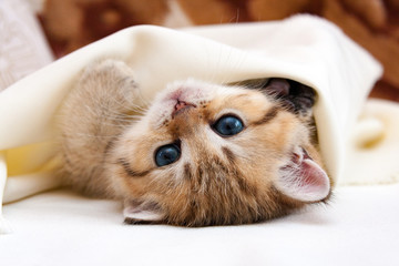 Little Golden British kitten lying upside down covered with a blanket and looks at the camera, cute kitten goes to bed hiding a sheet