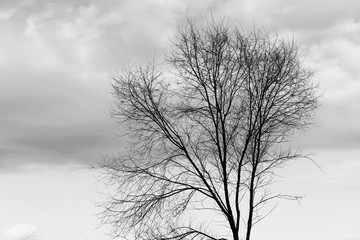 Silhouette of a tree against a cloudy sky. Forest banner. Black and white photography