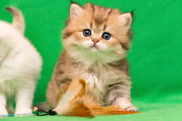 Fluffy charming little Golden British kitten sits next to a cat toy on a green background and looks into the camera