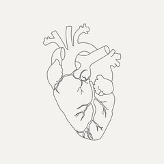 Anatomical human heart in linear style isolated on white background. Vector illustration.