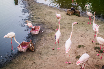 pink flamingos on a sandy cape near the lake