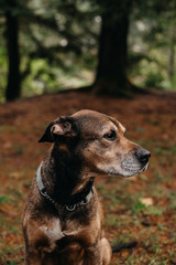 Portrait of Sweet, Old Family Dog