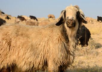 Sheep herd of the Qasqai nomads, Iran