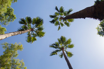 Tropical palm trees with blue sky in the background. Summer day in Seville, Spain.