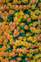 japanese chrysanthemums