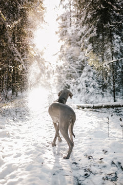 A dog stand in winter forest looking at the sun
