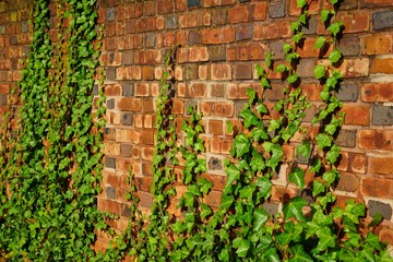 Brick wall covered with green ivy