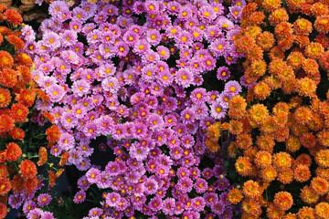Purple and orange Chrysanthemum flowers
