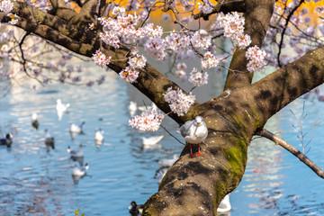 The black-headed gull (Chroicocephalus ridibundus) and cherry blossom in spring season