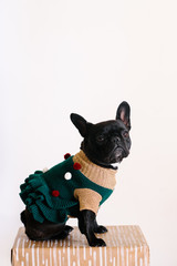 Adorable french bulldog in a Christmas dress