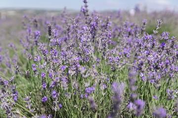 wild lavender purple flowers in summer field