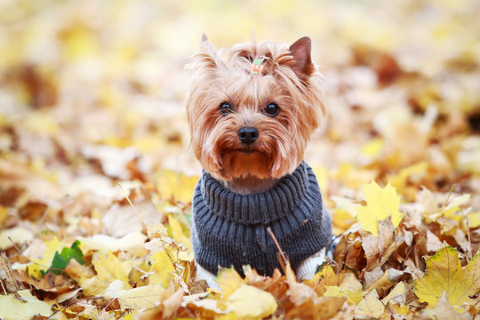 yorkshire terrier in a sweater in autumn park