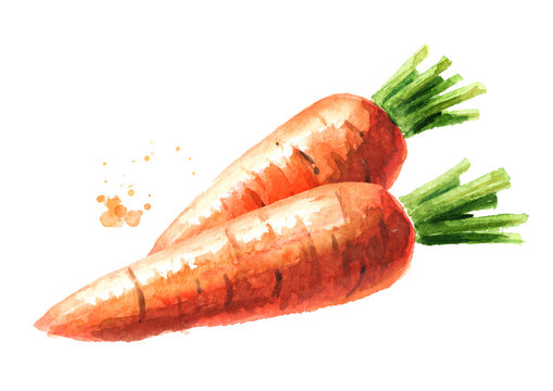 Fresh carrots. Watercolor hand drawn illustration  isolated on white background