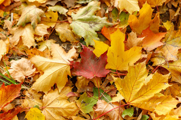 Macro photo of red leaf of maple on the ground. Fall leaves in autumnal park. Autumn mood scene. Shallow depth of field. Soft focus photography.