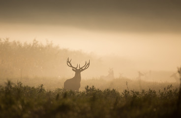Poster de jardin Chasse Red deer in forest on foggy morning