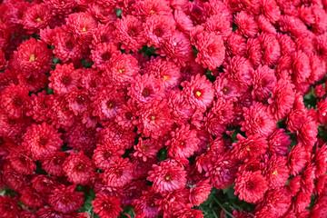 Beautiful fresh bouquet of colorful chrysanthemum flowers