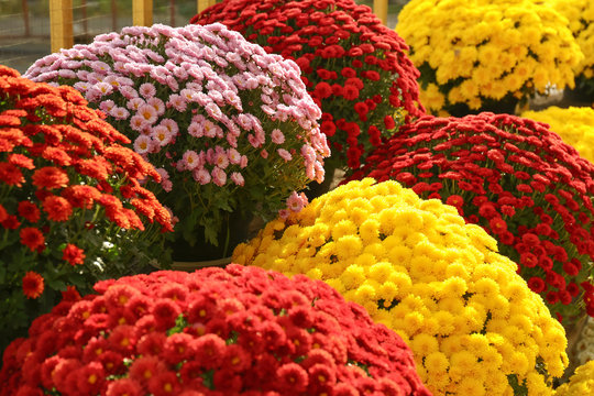 View of fresh beautiful colorful chrysanthemum flowers