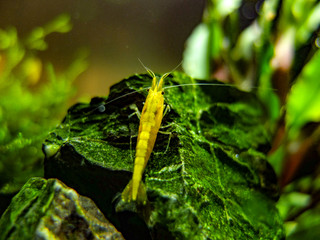 Dwarf Yellow Shrimp on rock