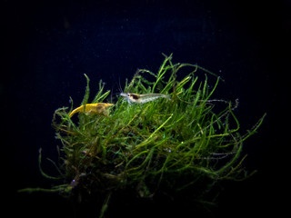 Amano and yellow shrimp hanging out on a moss ball