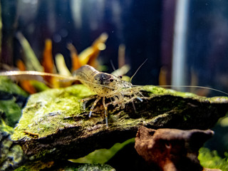 Amano Shrimp Close Up on a rock in a planted freshwater nano tank