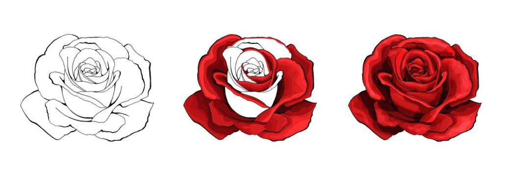 Rose hand drawing and colored. A blossoming rosebud. Vector illustration.
