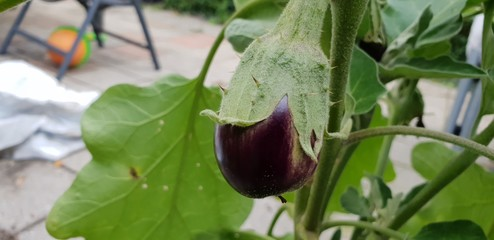 eggplant on a plant waiting to be harvested in a garden