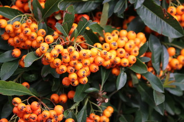 Orange berries on a hedge of firethorn plant in Nieuwerkerk aan den IJssel, the Netherlands.