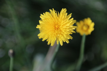 Yellow dandelion flower head in the autumn sun in the Bergse bos