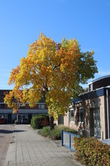 Yellow leaves on the street and on the trees during the autumn season in Nieuwerkerk aan den IJssel in the Netherlands