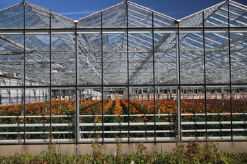 Glass greenhouse nursery in Nieuwerkerk aan den IJssel with several colors of Gerbera flowers.