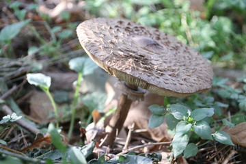 Clitocybe nebularis or clouded agaric in the forest during autumn season in the Netherlands