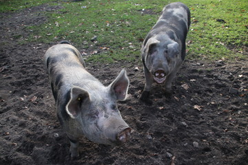Pigs in the mud on a field at farm in Oldebroek in the Netherlands