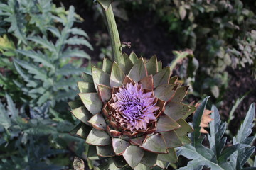 Artichokes growing as flower in a garden in 't Harde in the Netherlands.