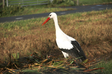 Stork searching for food in the just cutted reed from the water in Zoeterwoude.