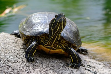 Close up of a turtle standing on a rock by the waters edge